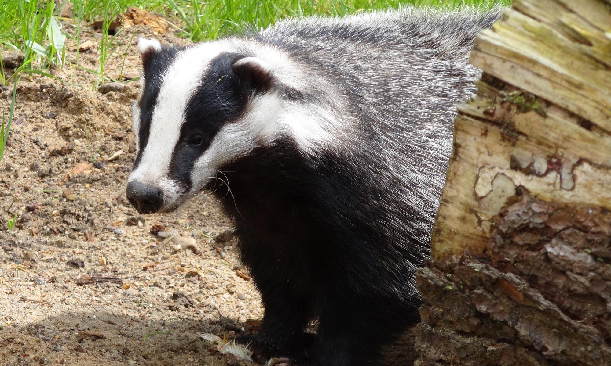 Badger surveys for planning applications