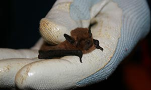 Bat caught during survey in Northern Ireland