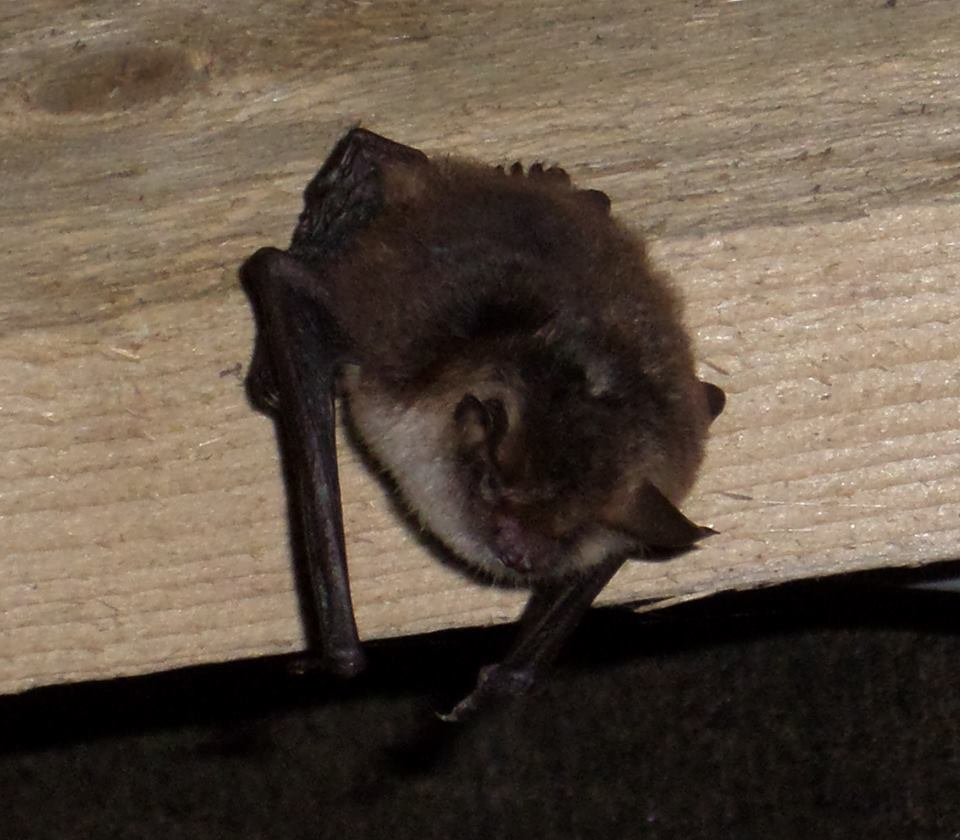 Natterer's Bat found in County Antrim