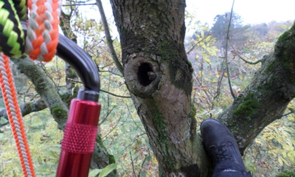 Tree climbing bat roost survey