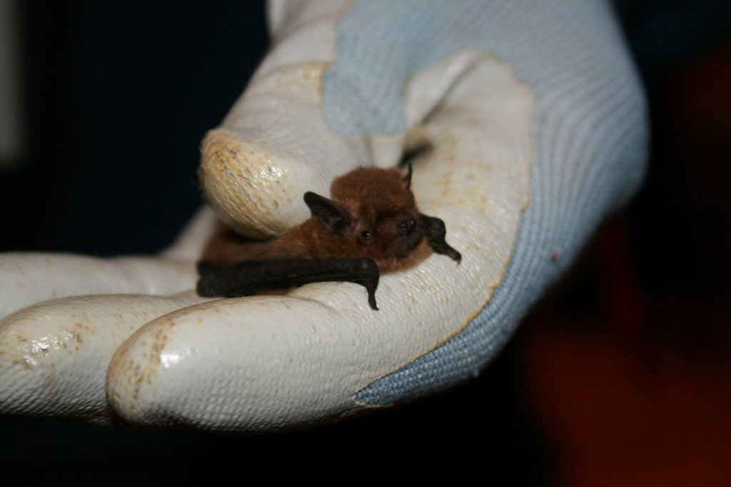 Bat caught during an ecological survey in County Fermanagh