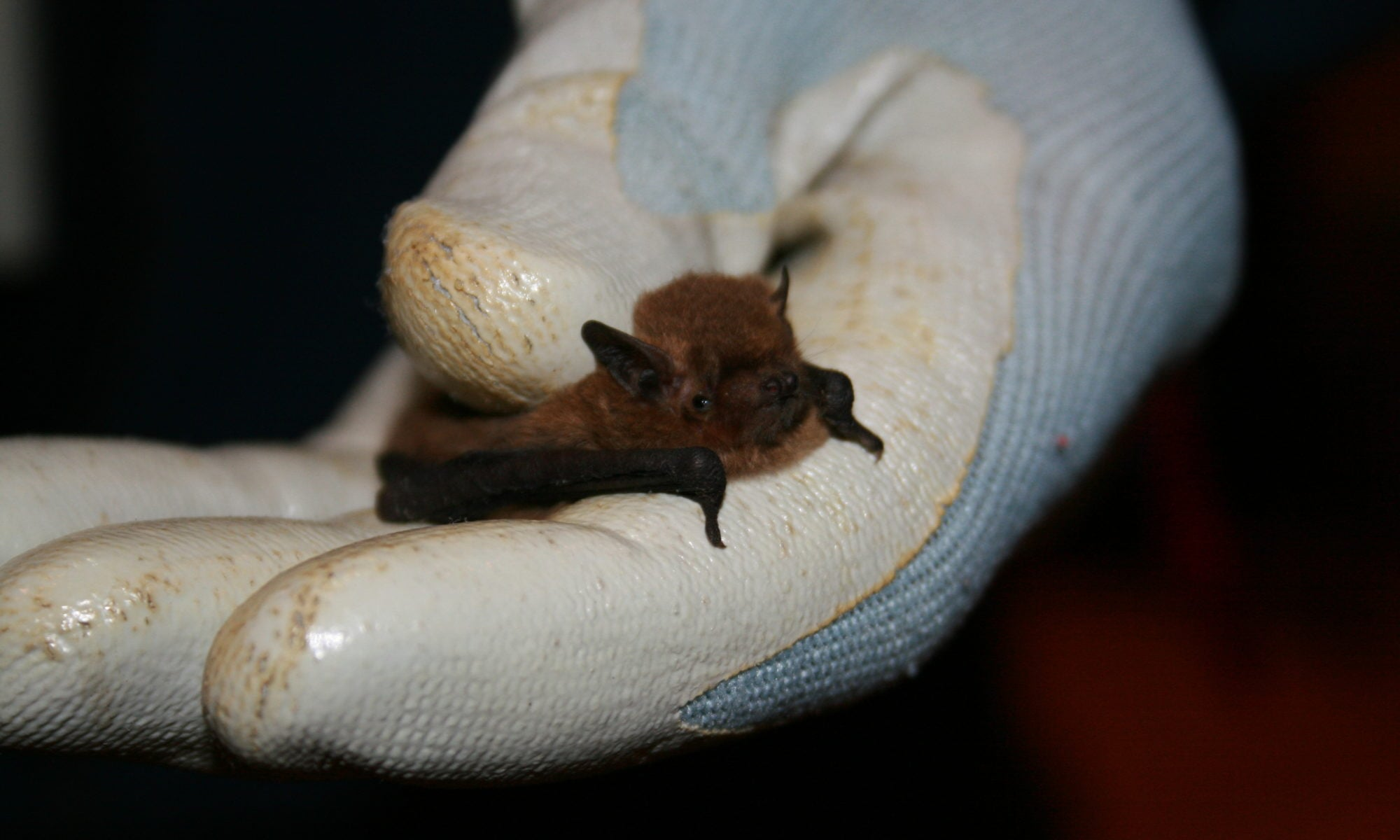Bat caught during a survey in County Fermanagh
