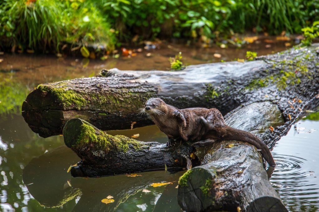 Otter beside river